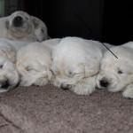 cachorros portda
